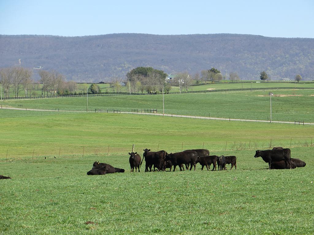 Cattle resting in field